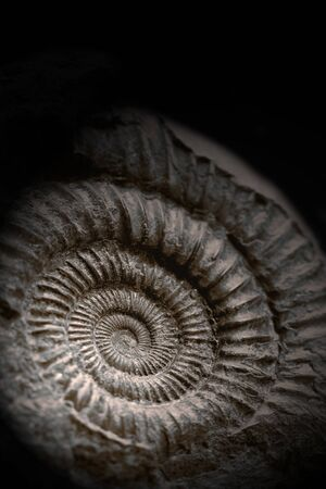 Close-up of an Ammonite fossil preserved in rock, on a black background, with lighting effect