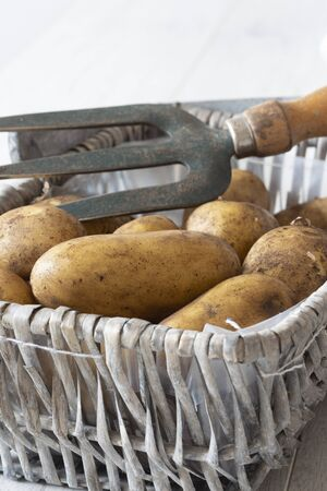Organic potatoes in a wicker basket with a garden fork.  Grey wood background