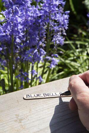 Man writing bluebells on a wooden marker label in a garden.  With common bluebells,, Hyacinthoides non-scripta, in the background