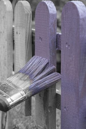 Man painting a wooden picket fence with purple wood stain and brush in a garden.  With selective colour