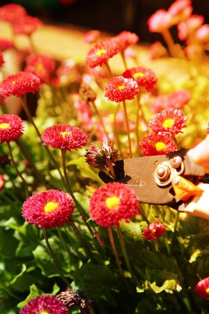 Cutting,  dead heading, Bellis Perennis Rose Red Double Daisy with secateurs in sunlight