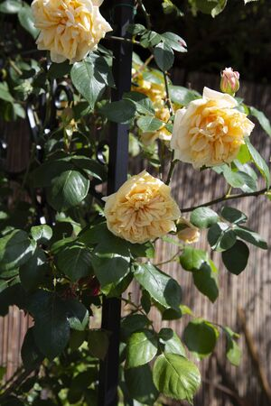 Yellow rambling rose climbing up a garden arbour arch frame.  On a sunny day.