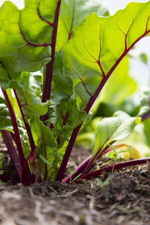 Young beetroot plants with leaves growing on a vegetable patch in a polytunnel.  Grow your own concept