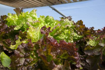 Lettuce plants leaves growing on a vegetable patch in a polytunnel.  Grow your own concept 写真素材