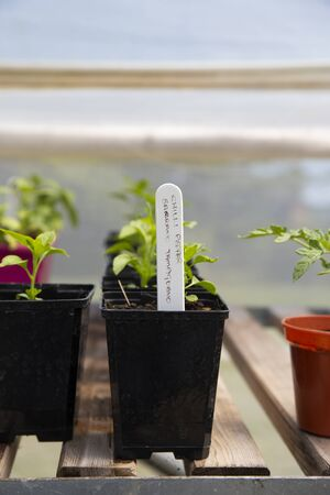 Young chilli pepper, Serrano Tampiqueno variety, growing in pots on a shelf in a polytunnel.  Grow your own concept