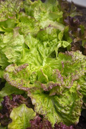 Lettuce plants leaves growing on a vegetable patch in a garden.  Grow your own concept