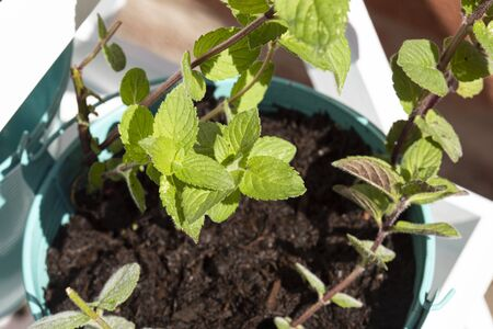 Garden mint herb growing in a green metal plant pot on a white wood frame.  Grow your own concept
