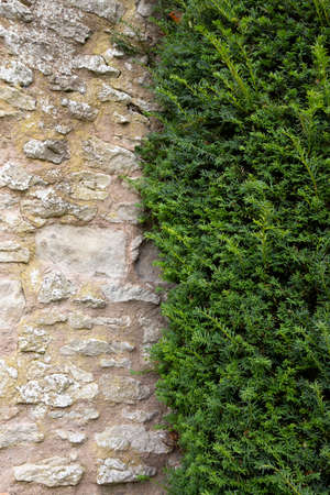Yew tree growing against an old stone wall