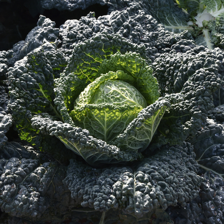savoy cabbage: Cabbage cultivation on the coast of Puglia