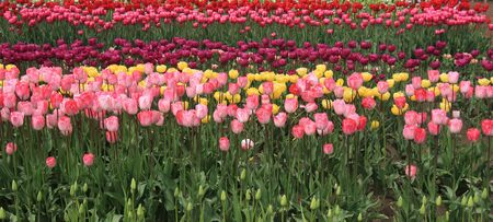 Field of tulips. Stock Photo - 9618053