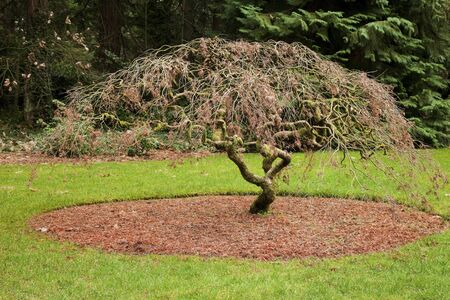 portland oregon: Japanese maple tree grotto gardens, Portland Oregon.