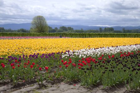 Tulips in a farm field Woodland, WA  Stock Photo - 13420728