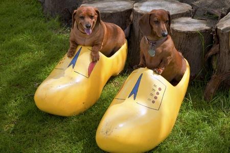 Happy dogs in a wooden shoe, Woodland WA Imagens - 13421514
