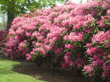 Rhododendrons flowers in a park, Portland OR  Stock Photo