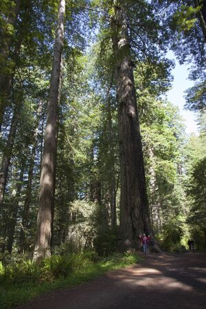 Visiting the redwoods in California national parks  Stock Photo - 14166509