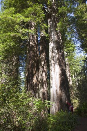 Visiting the redwoods in California national parks  Stock Photo - 14166510