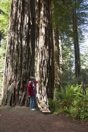 Visiting the redwoods in California national parks  Stock Photo - 14166506
