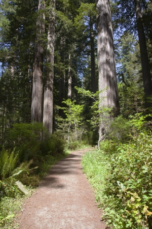 Trail in a redwood forest northern California Stock Photo - 14166507