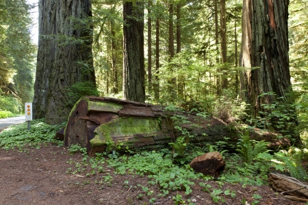 Redwood forest tree trunk and plants, California Hwy-101 Stock Photo - 14166504