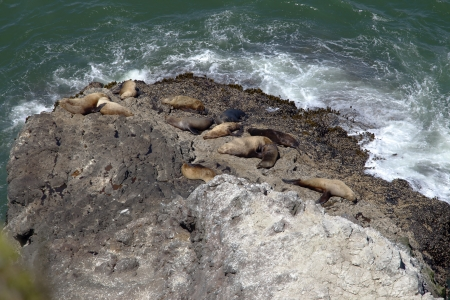 Sea lions asleep on large rock on the Oregon shoreline  photo