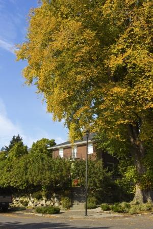 residential neighborhood: Large tree in a residential neighborhood Seattle WA
