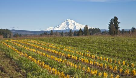 Monte Hood en la nieve y las tierras agrícolas de Oregon rural. Foto de archivo - 35751415