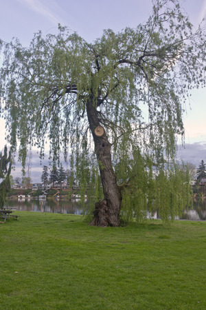 weeping willow: Weeping Willow tree in Blue Lake park Oregon.