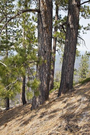butte: Lava Butte forest trees and hillside near Bend Oregon.