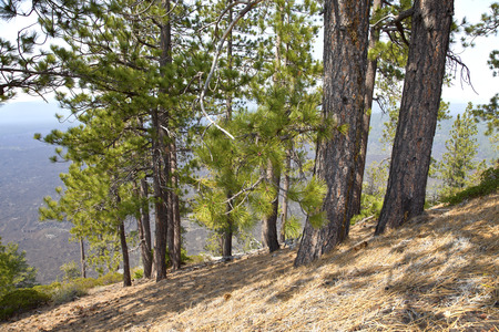 hillside: Lava Butte forest trees and hillside near Bend Oregon.