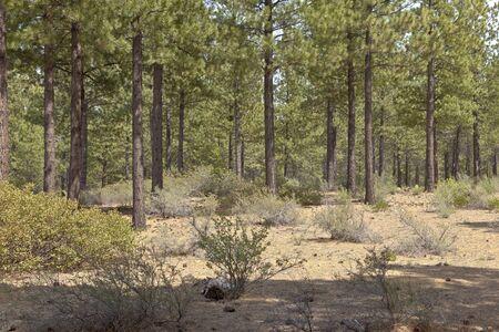 ponderosa pine: Tree forest near Lava Butte in Central Oregon.