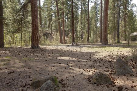 ponderosa pine: Picnic area and Ponderosa pine trees forest area Bend Oregon region.