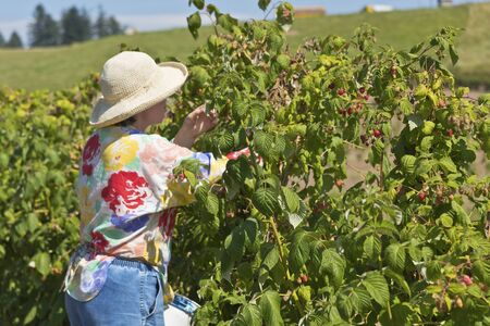 selections: Raspberry picking at a rural farm in Oregon.