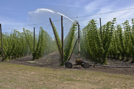 climbing cable: Agriculture and farming hops in the Willamette valley Oregon.