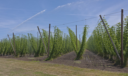 Agriculture and farming hops in the Willamette valley Oregon.