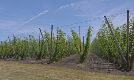 L'agriculture et le houblon dans la vallée de Willamette en Oregon. Banque d'images - 41695607