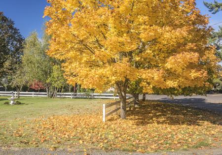 Albero giallo Autunno colori Willamette Valley Silverton Oregon. Archivio Fotografico - 89342351