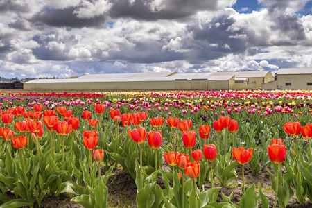 Tulip fields and bloom Woodland Washington state.