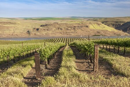 Rows of vines along the Columbia River Oregon.