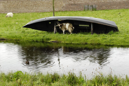 he goat: he-goat in rain under the old boat, The Netherlands  Stock Photo