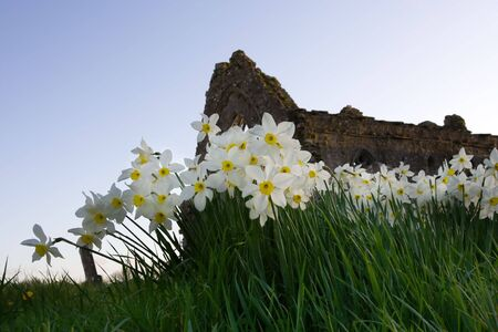 remains: a daffodils and remains of  an ancient building  Stock Photo