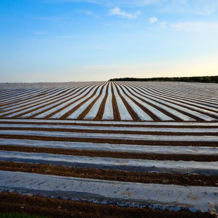 non cultivated: field with corn seeds covered by plastic lines at spring Stock Photo