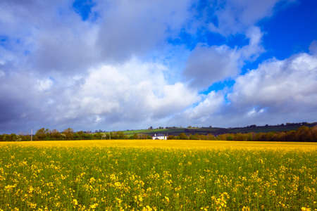 buttercups: meadow field with yellow tall buttercups at sunny spring day Stock Photo