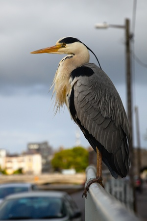 grey heron on the railings in Claddagh, Galway Stock Photo - 9893686