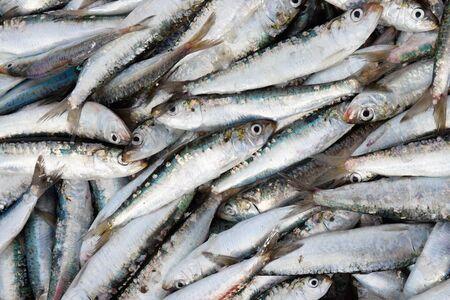 fresh sardins  which was caught in Portugal photo