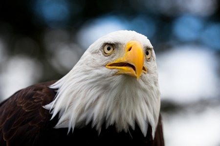bald man: Bald Headed Eagle, close up shot with blurred background