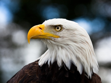 eagle feather: Bald Headed Eagle, close up shot with blurred background