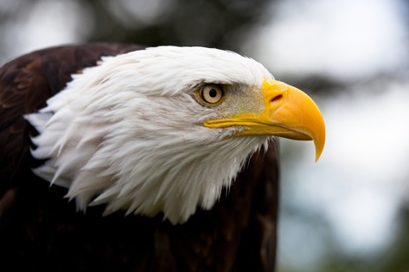 aguila calva: Calvo águila de cabeza, plano con fondo borroso