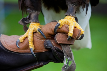 Claws of Bald Headed Eagle, sitting at mans hand, close up photo