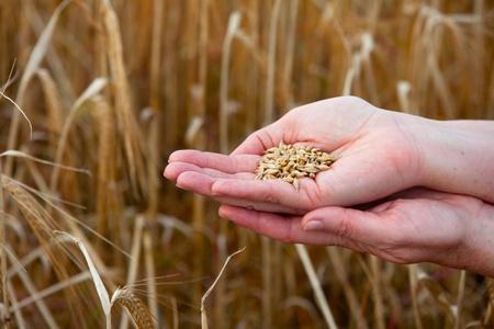 punhado: handful of crops of barley in the hands