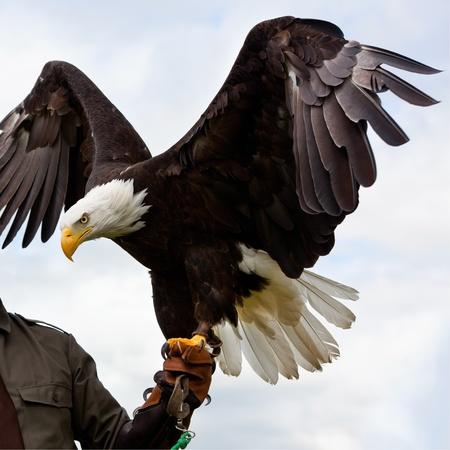 orzeł: Bald Headed Eagle, siedzÄ…c pod rÄ™kÄ… mans